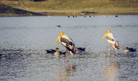 Two painted stork birds with ducks. In pond Stock Photos