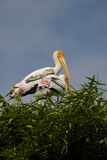 Two Painted Storks Stock Photography