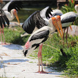 Two Painted Storks Stock Photos
