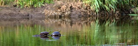 Painted Turtle, Chrysemys picta Royalty Free Stock Photo
