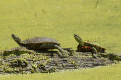Two painted turtles on a log. Stock Photos