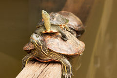 Two Painted Turtles in Sigapore Botanical Garden.Horizontal. Royalty Free Stock Image