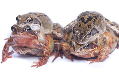 Two Pair of frogs. Four mating frogs on a white background Royalty Free Stock Images