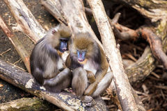 Two monkeys in Zoo Stock Image