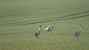 Two pairs common cranes Grus grus on farmland in spring, 4K. Two pairs beautiful common cranes Grus grus on farmland in spring, 4K stock video