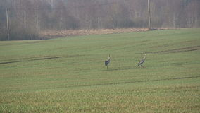 Two pairs common cranes Grus grus in spring and start fly, 4K. Two pairs common cranes Grus grus on farmland in spring and start fly, 4K stock video footage