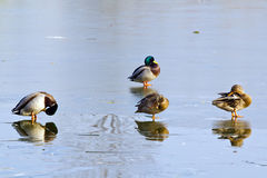 Two pairs of ducks Royalty Free Stock Photos