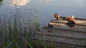 Two Pairs Of Ducks Cleaning Feathers On A Wooden Lake Pier stock video footage