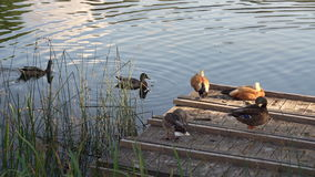 Two Pairs Of Ducks Cleaning Feathers On A Wooden Lake Pier. Water Birds In Natural Environment In Summer Day Footage stock video