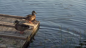 Two Pairs Of Ducks Cleaning Feathers On A Wooden Lake Pier. Water Birds In Natural Environment In Summer Day Footage stock footage