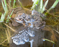 Two pairs of frogs. Two pairs of frogs breeding and laying Frogspawn Royalty Free Stock Photo