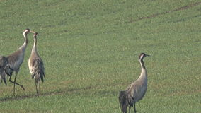 Two pairs graceful wild common cranes Grus grus  in spring, 4K. Two pairs graceful wild common cranes Grus grus on wheat field in spring, 4K stock footage