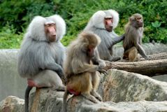 Two pairs of mothers and their young monkeys in the zoo in Berlin in Germany Stock Image