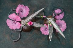 Two pairs of rough metal black scissors with open blades amidst huge pink flowers perpendicular to each other against a black back. Ground, photo still life for Royalty Free Stock Photography