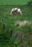 Two pale horses in a field. The two pale horses are enjoying some grass in a peaceful summer field stock photography