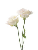 Two  pale pink flowers. Stock Images