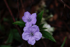 Two Pale Violet Flowers Royalty Free Stock Photos