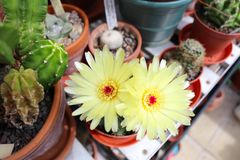 Two yellow cactus flowers blooming a greenhouse. Two pale yellow flowers on a potted cactus stock photos
