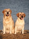 Two pale-yellow Labradors. Sitting against the sea. Two dogs against the sea Stock Photos