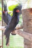 Two palm cockatoo Stock Photos