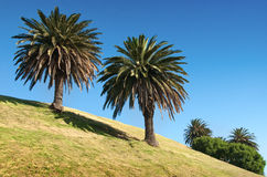 Two palm in sunny day. Royalty Free Stock Photo