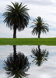 Two palm trees Stock Images