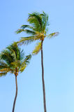Two Palm Trees. Two beautiful tall palm trees against a blue Carribean Sky Royalty Free Stock Photo