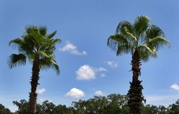 Two Palm Trees Stock Image