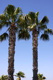 Two palm trees Stock Photography