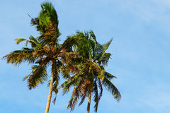 Two palm trees against the blue sky, their branches are blown by the wind. Sri Lanka Stock Image