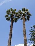 Two palm trees on background of blue sky Royalty Free Stock Images