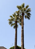 Two palm trees on background of blue sky Stock Images
