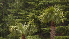 Two palm trees on the background of coniferous trees. The southern and northern trees stock footage