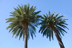 Two palm trees and Blue sky. Two palms and a perfect blue sky Royalty Free Stock Photo