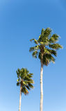 Two Palm Trees on Blue Royalty Free Stock Photos