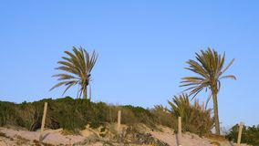 Two palm trees on blue sky background. Date palm trees leaves swaying in wind. On sky background stock video