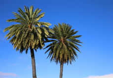 Two palm trees on blue sky Stock Image