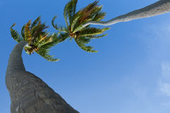Two palm trees Royalty Free Stock Photo