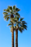 Two palm trees Royalty Free Stock Images