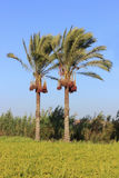 Two palm trees with dates Stock Photography