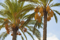 Two palm trees with fruits Royalty Free Stock Image