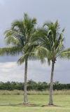 Two Palm Trees growing at the Miami Beach Royalty Free Stock Photography