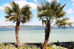 Two palm trees. On the island of Mainau Royalty Free Stock Photo