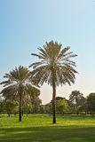 Two palm trees in the park Dubai Stock Photos
