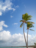 Two palm trees on sandy beach. Coast of Atlantic ocean Royalty Free Stock Photo