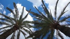 Two palm trees and sky with clouds stock footage