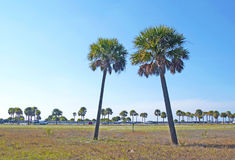 Two palm trees. Two slanted palm trees on a sunny day, in Upham Beach, Florida Stock Image