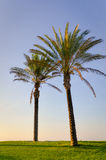 Two palm trees standing on green grass in sun Stock Photo