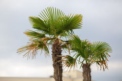 Two palm trees Royalty Free Stock Image