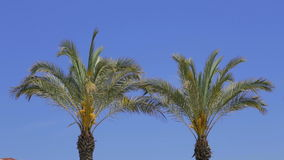 Two palm trees. Two palm trees and very blue sky during hot summer day. Shot is take in Side, Turkey stock video footage